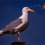 Herring Gull Dream